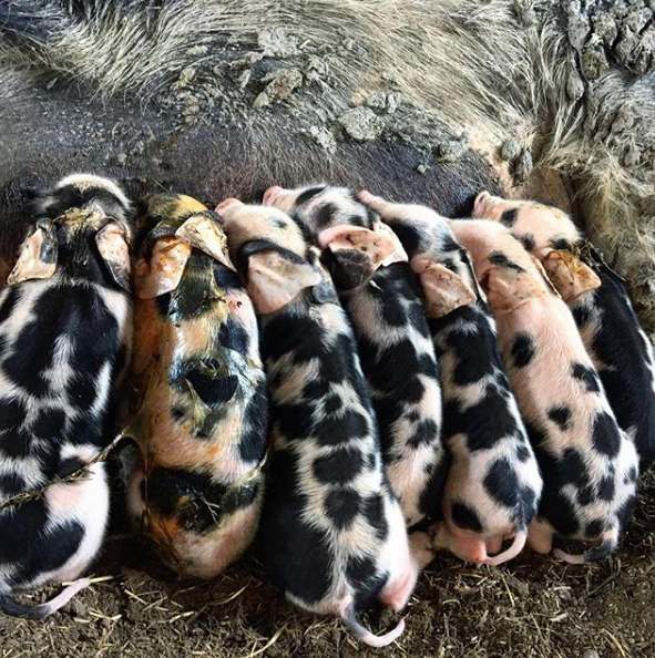 Feb 13, 2018 - Whatever you're doing right now, STOP and take stock of everything. Life is AMAZING. As I was reminded today your strength isn't evident when life is happily bumbling along. Your strength is shown when times are that little bit tougher. These piglets being born in Sweden last year, I took for granted. I loved seeing the piglets so young but I didn't really appreciate everything this gorgeous sow had been through. For her, although totally natural, birth is no laughing matter. Often it's things we breeze through, because we have to, that we then look back on and realise everything that we've done. These piglets were a miracle. To see them being born was utterly wondrous. Last year was a huge year of firsts and planning the rest of this year now fills me with even more excitement when I think through all that I experienced in 2017. Another pearl of wisdom from today - life is always moving forward, so it's no use looking through the back windscreen!