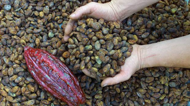 English ex-pat farmer William Harcourt examines cacao beans on the isolated Las Marias plantation buried in the jungles of the Maya Coast. Centuries after European adventurers scoured Venezuela's jungles in a feverish quest for the riches of El dorado, modern-day explorers have come here hungering for a different treasure--chocolate. (Kimberly White/Reuters)