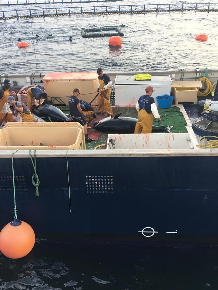 Harvesting the bluefins..jpg