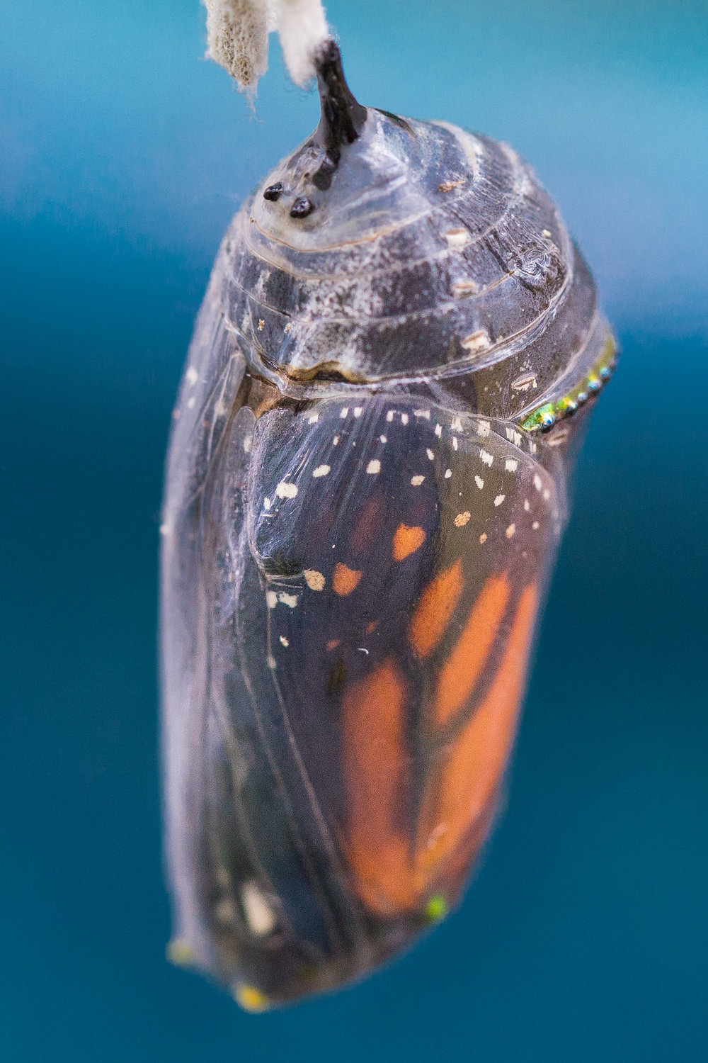 full chrysalis monarch black and clear2.jpg