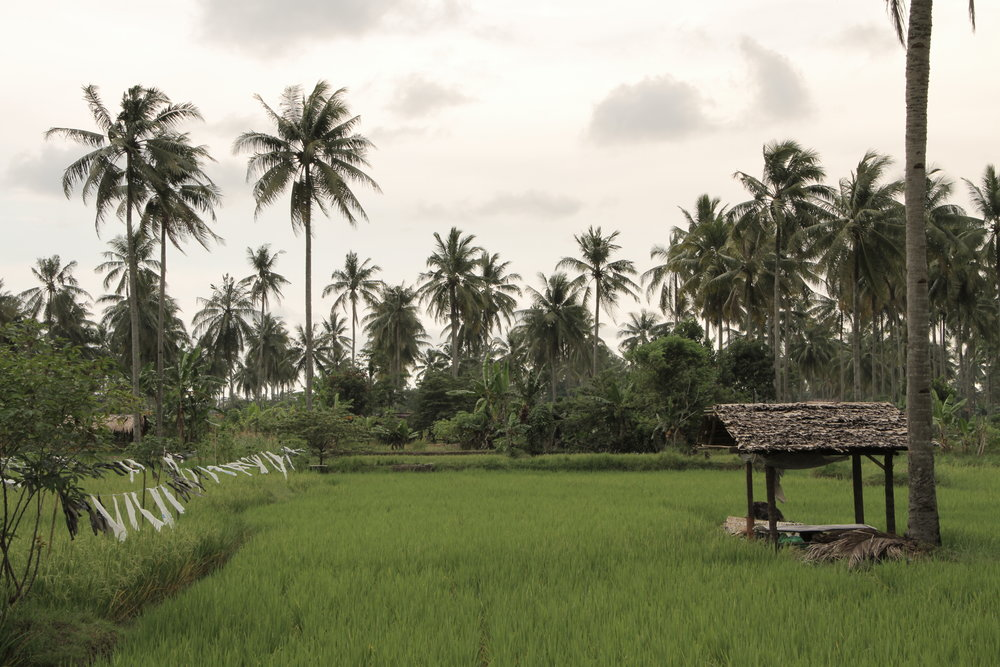Rice fields cover much of Pangandaran's in-land area.
