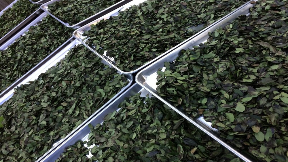 Yaupon_Tea_leaves_ready_for_drying.jpg