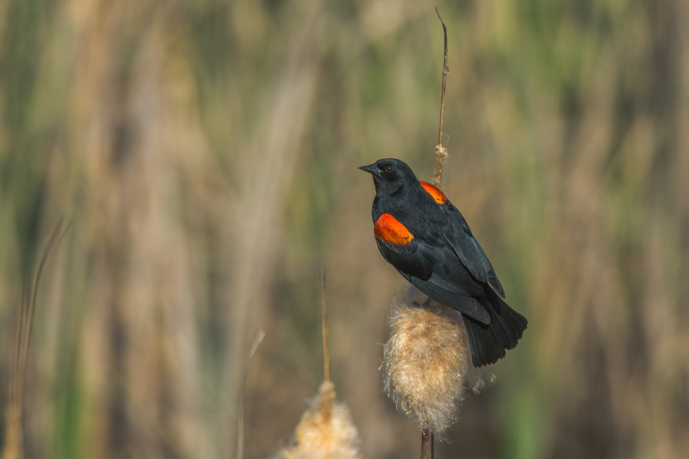 Red-winged blackbird © Carlos Porrata