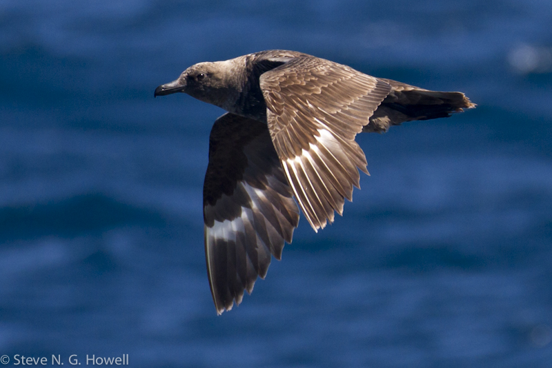 Bodega Bay pelagic (15 of 34).jpg