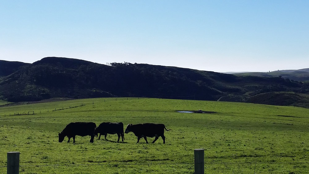 Seashore Cattle - green hills.jpg