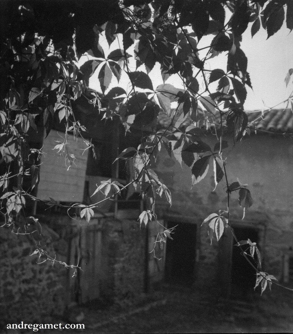Vigne vierge, 1942.jpg