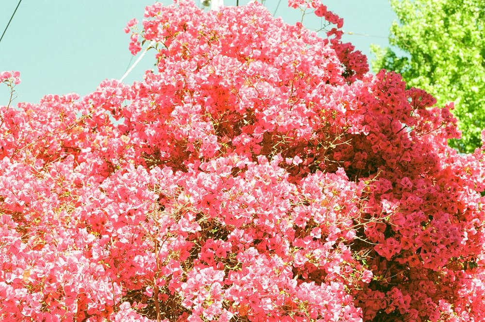 Superheart artwork - 'Flowers' film scan.jpg