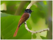 Amur Flycatcher - Terpsiphone incei