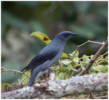 Black-winged Cuckooshrike - Lalage melaschistos