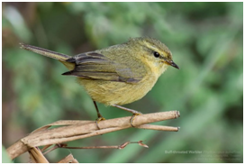 Buff-throated Warbler - Phyloscopus subaffinis