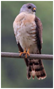 Chinese Sparrowhawk - Accipiter soloensis