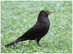 Chinese Blackbird - Turdus mandarinus