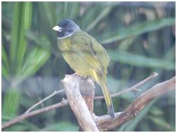 Collared Finchbill - Spizixos semitorques
