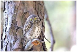 Collared Owlet - Glaucidium brodiei