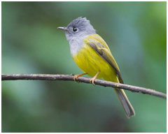 Gray-headed Canary Flycatcher - Culicicapa ceylonensis