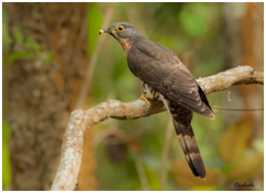 Large Hawk Cuckoo - Hierococcyx sparverioides