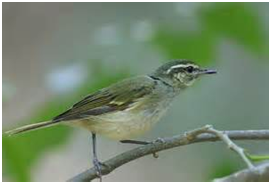 Large-billed Warbler - Phylloscopus magnirostris