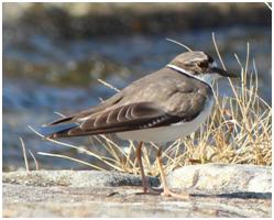 Long-billed Plover - Charadrius placidus
