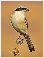 Long-tailed Shrike - Lanius schach