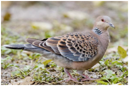 Oriental Turtle-Dove - Streptopelia orientalis