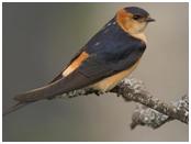 Red-rumped Swallow - Cecropis daurica