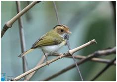 Rufous-faced Warbler - Abroscopus albogularis