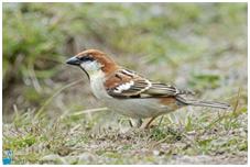 Russet Sparrow - Passer cinnamomeus