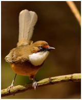 White-throated Laughingthrush - Garrulax albogularis