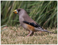 Yellow-billed Grosbeak - Eophona migratoria