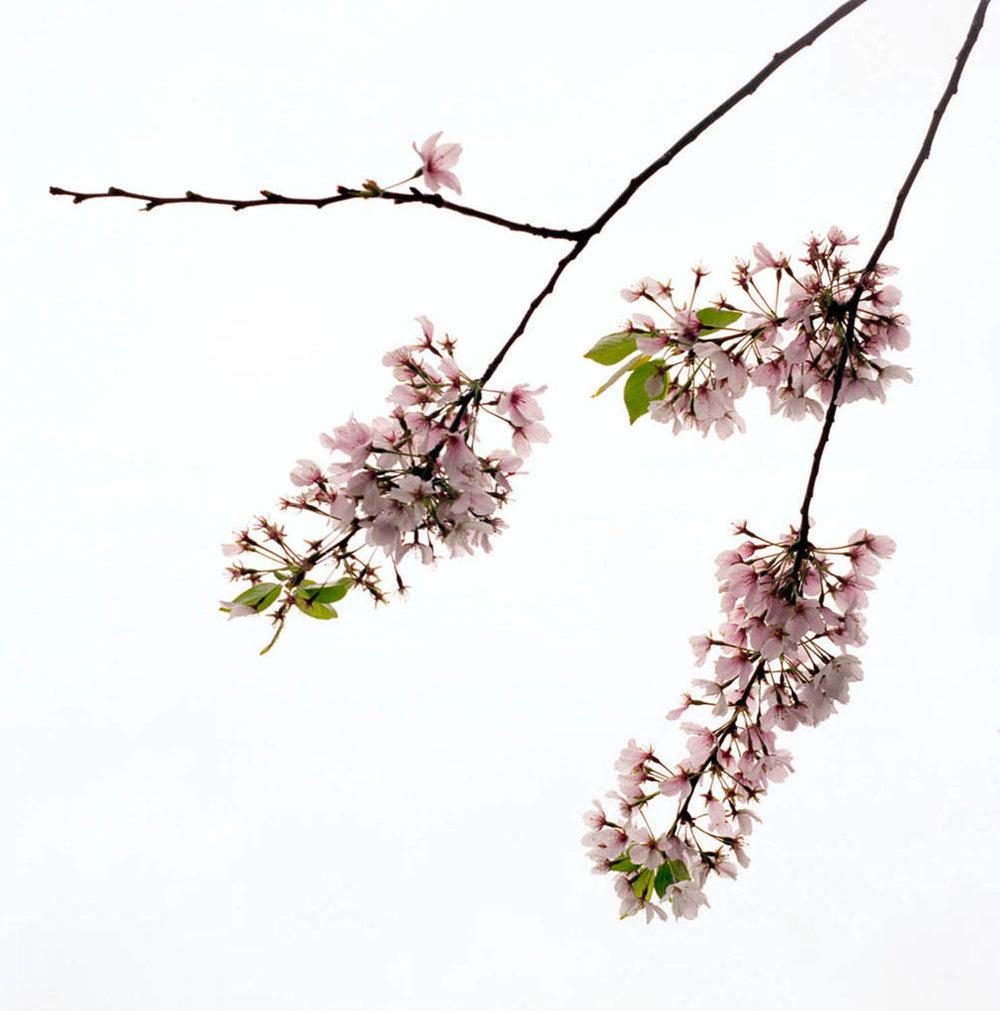 Blossom #5, 2005