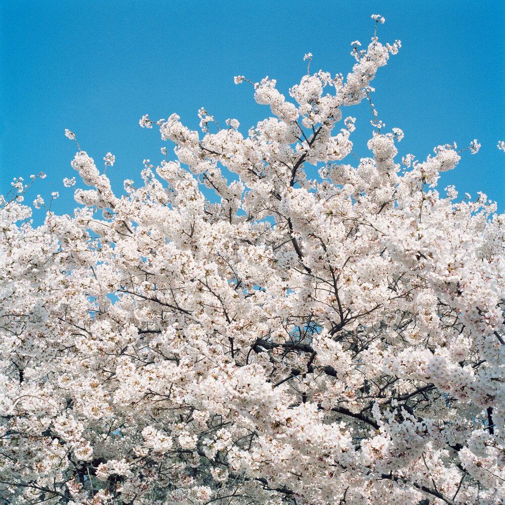 Blossom #2, 2005