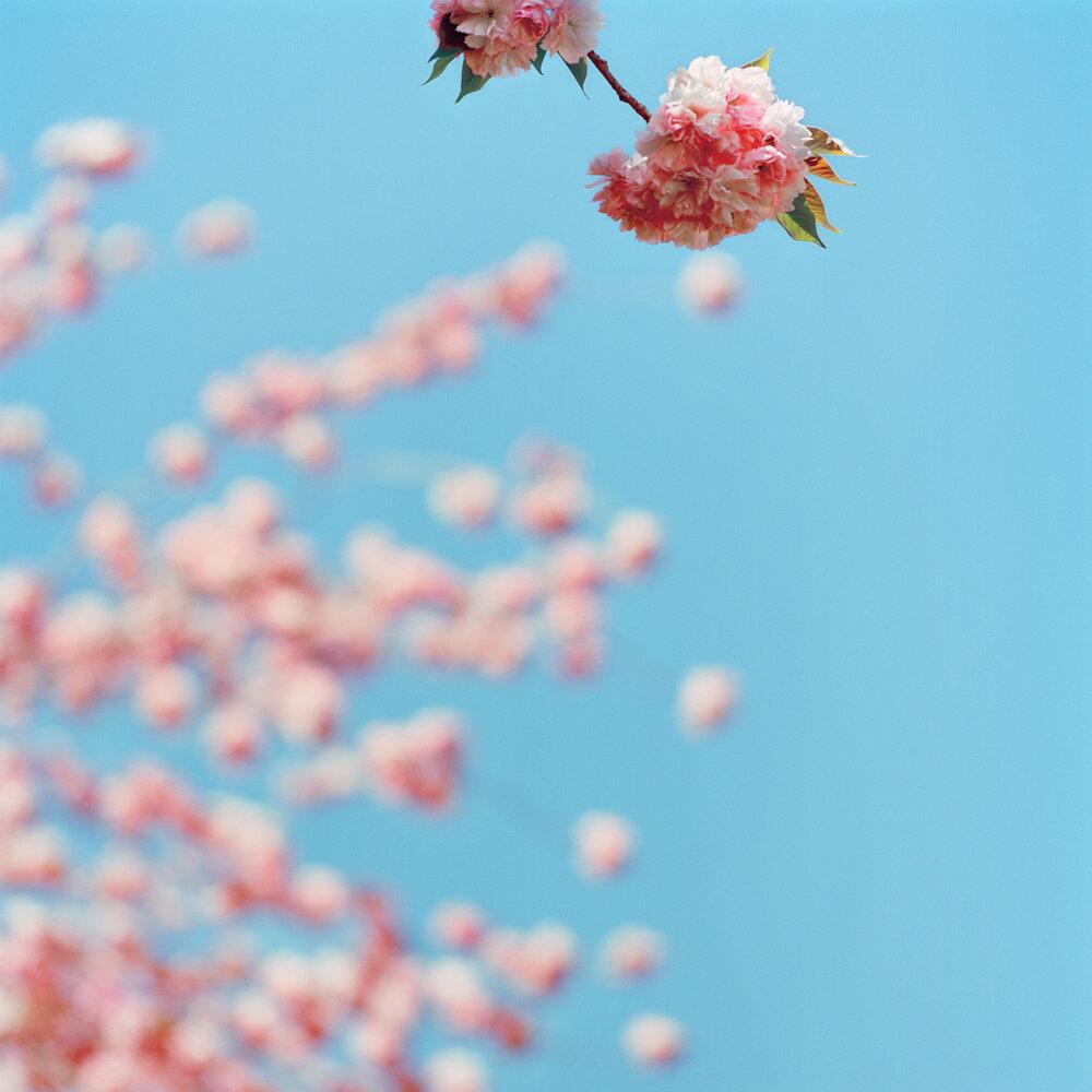 Blossom #11, 2005