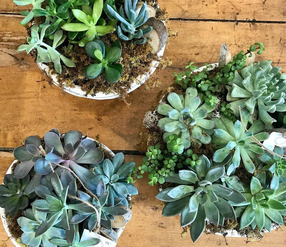 succulent garden -