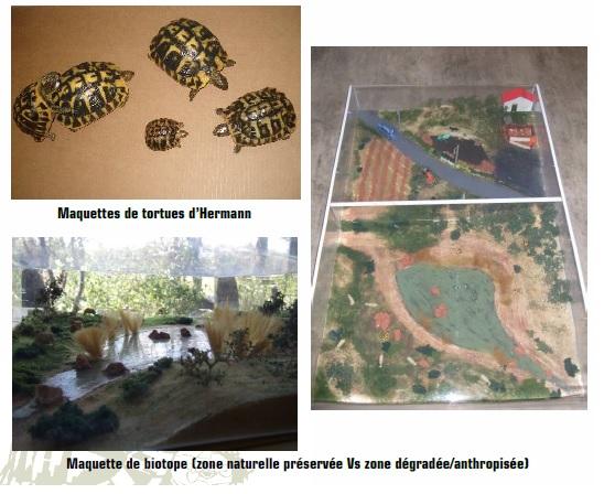 Les maquettes de tortues d'Hermann et de biotopes reconstitués