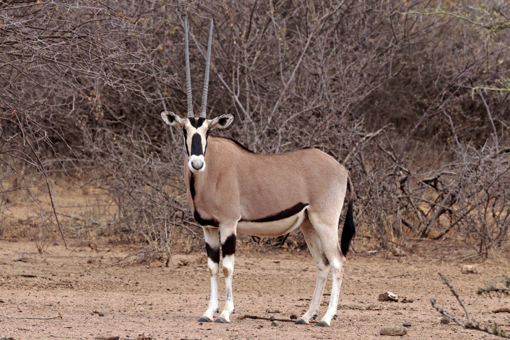 Female oryx, Awash National Park