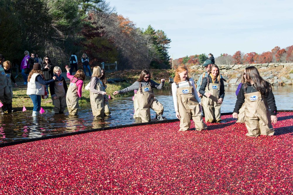 Maura Wayman Photography, Photography, Corporate Photography, Massachusetts, Boston, Metro West, events, Corporate events, Photographer, Functions, Parties, Fundraisers, Ocean Spray, Bogs, cranberries, cranberry, waders, walking in a bog, Corproate Team building,  fruit, red, harvest, boom, water,