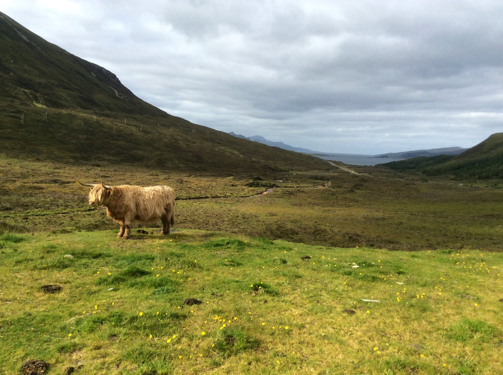 Highland cow in the highlands