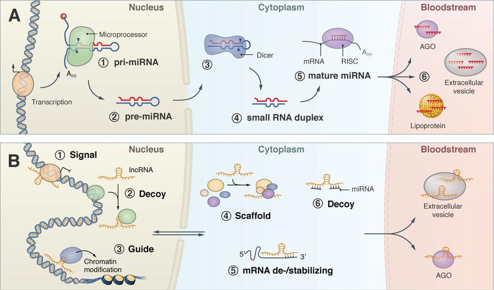 Tiedt_Review_RNA_Stroke_2.jpg