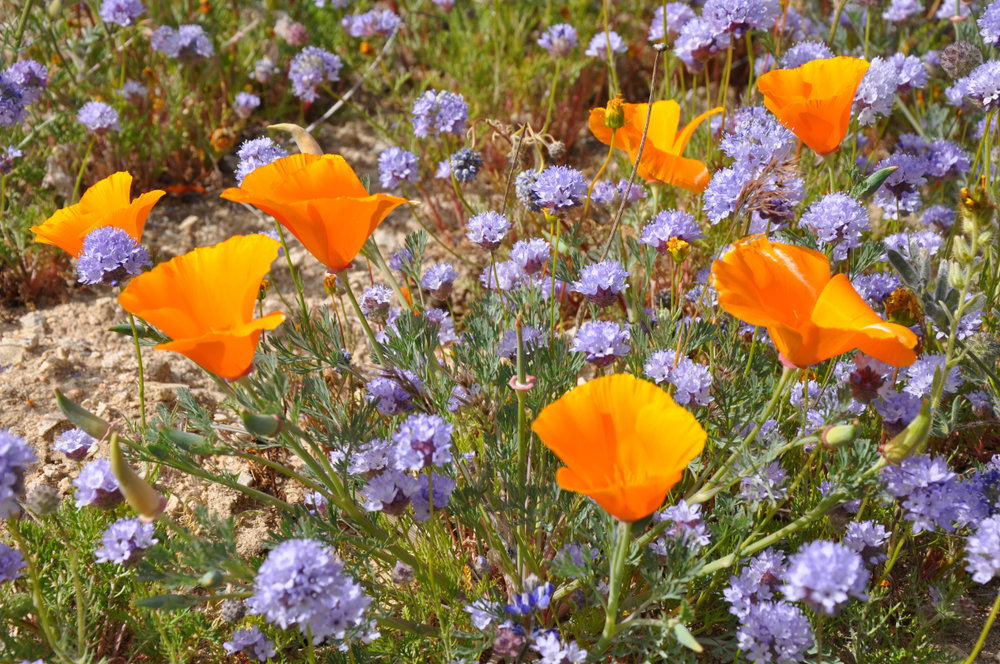 Wildflowers near Gorman