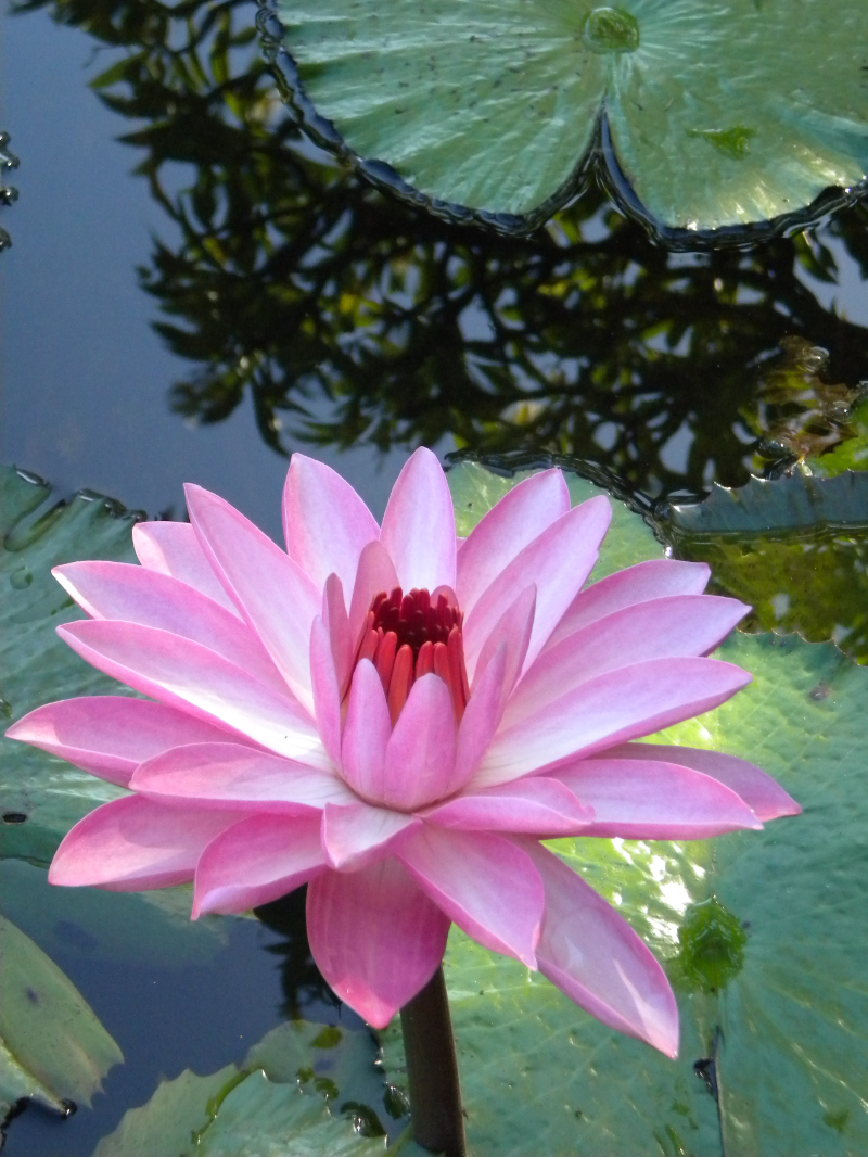 Pink Water Lilly at the Plantations Gardens