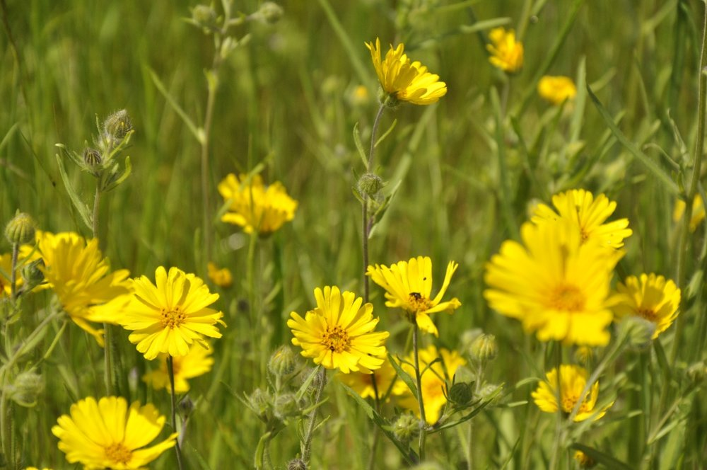 field-of-yellow-daisies