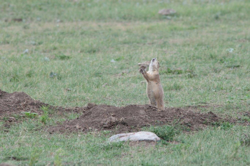 prairie-dog-calling