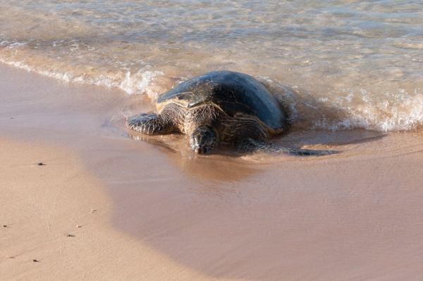 sea-turtle-kauai.jpg