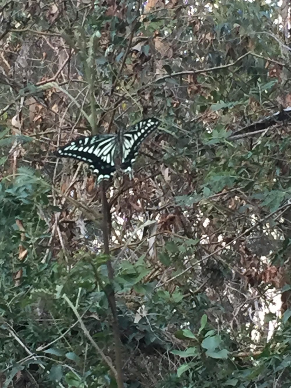 Butterfly_kauai-1.jpg