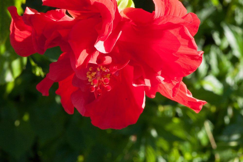 red-hibiscus-kauai-1.jpg