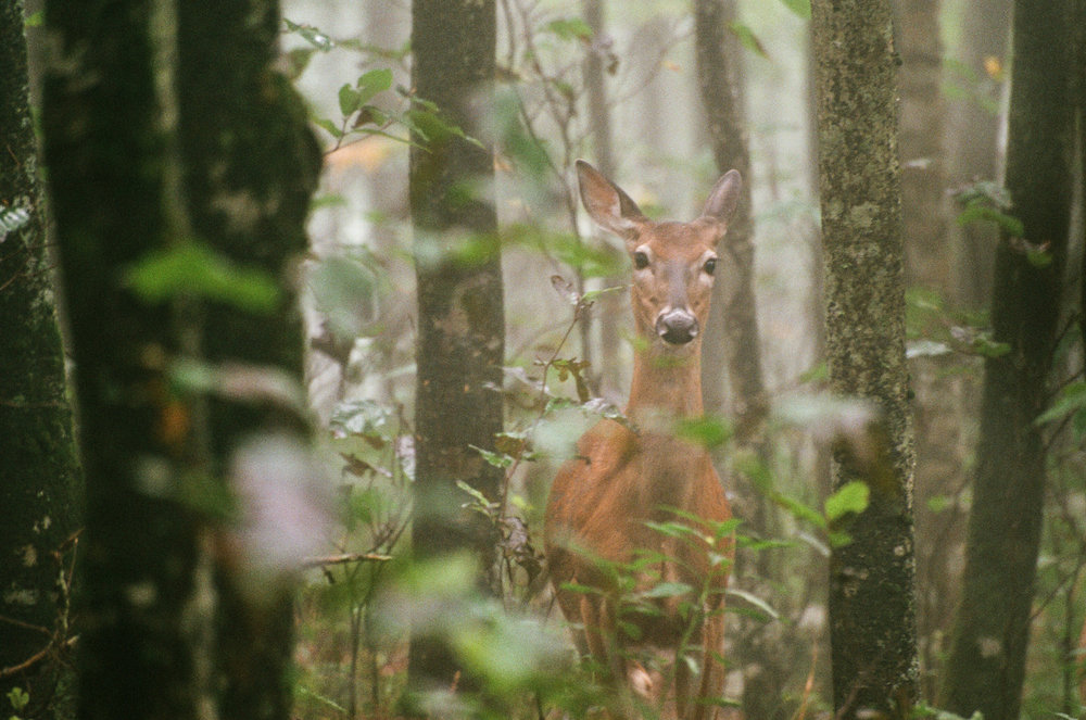 White-tail doe in the misty forest at Elk Knob State Park. (Image captured using a Nikon F100 and 70-300mm VR on Fuji Superia 400 35mm film)