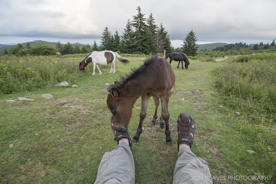 A few-week-old foal noodles on my shoe straps, Grayson Highlands State Park.