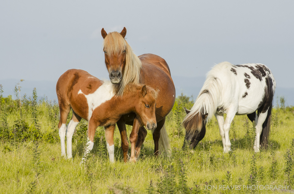 Feral Ponies Graze in a Mountain Bald in Grayson Highlands State Park.