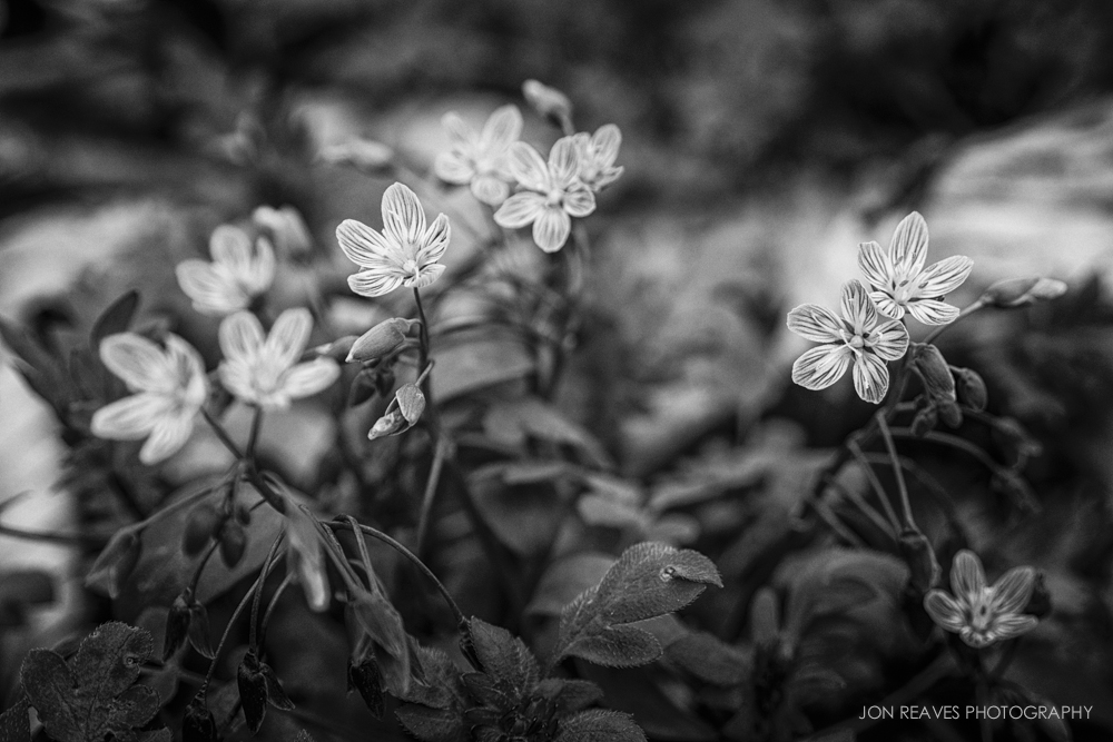 Spring's First Flowers, Creston, North Carolina. These blooms are about the size of a U.S. dime. (Nikon D7100, Nikon 28-105mm AF-D, macro switched on, 90mm, f5.6, 1/100 sec, ISO 100, tripod)
