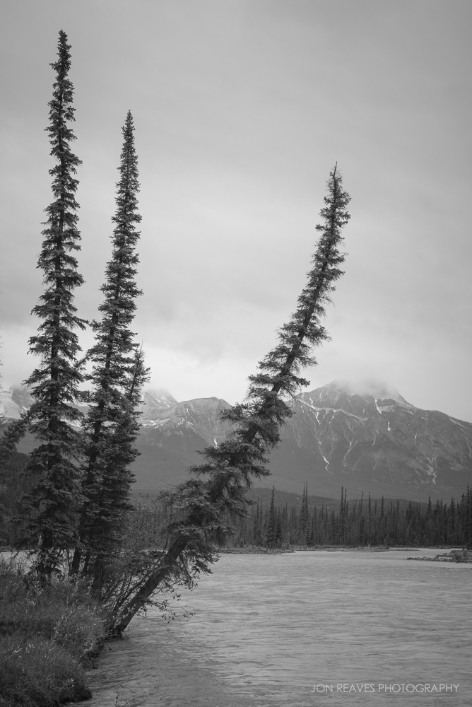 Leaning Spruce, Athabasca River, and Pyramid Mountain, Jasper National Park, Alberta, Canada